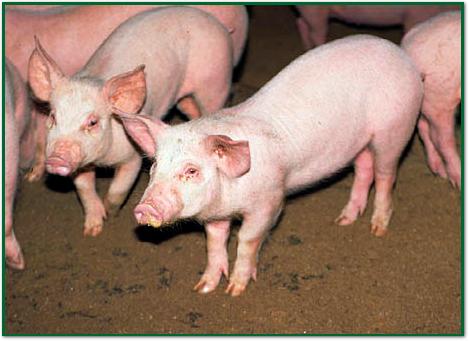 돼지(철분 결핍증)