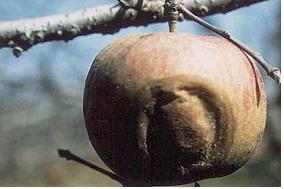 사과(겹무늬썩음병)