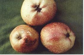 사과(심식나방)