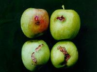 사과애모무늬잎말이나방
