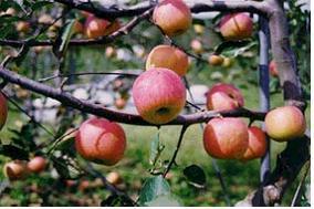 사과(하크나인)