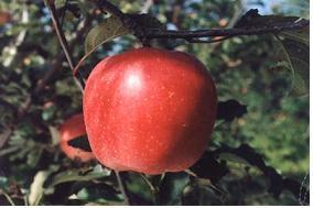 사과(화홍)