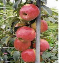 사과(선홍)