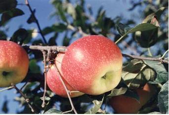 사과(추광)