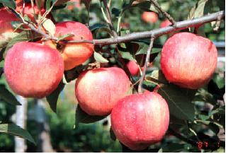 사과(홍로)