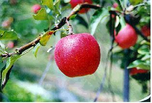 사과(히메까미)