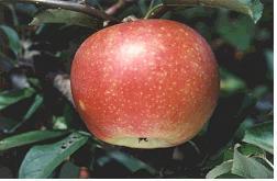 사과(홍월)