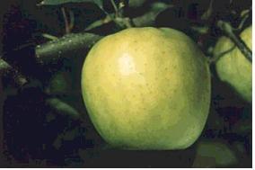 사과(육오)