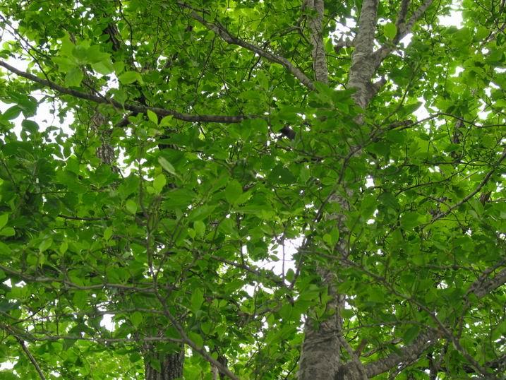 아그배나무
